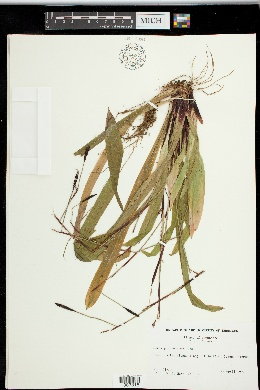 Carex plantaginea image