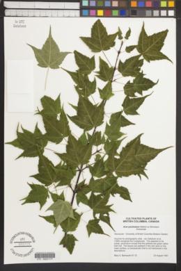Image of Acer pectinatum