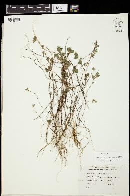 Lespedeza stipulacea image