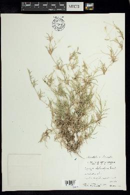Bouteloua dimorpha image