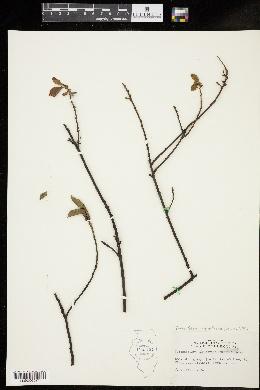 Image of Forestiera ligustrina
