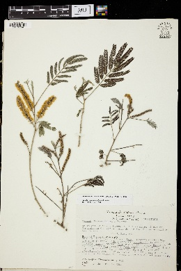 Image of Acacia mammifera