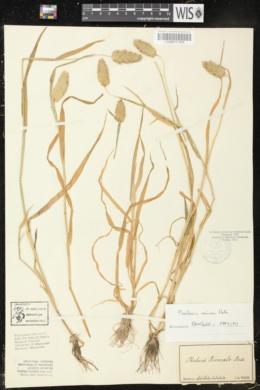 Phalaris truncata image