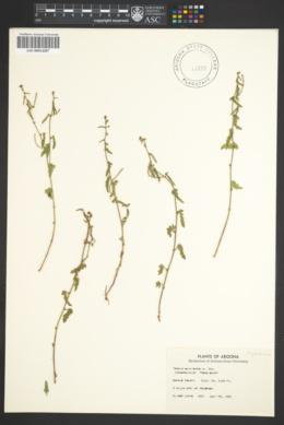 Image of Tragia nepetaefolia