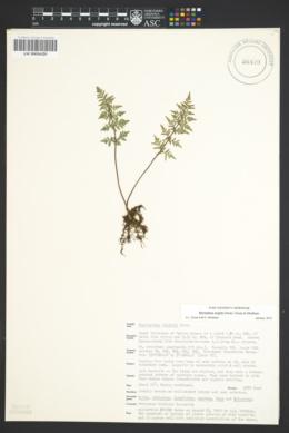 Myriopteris wrightii image