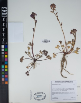 Image of Sidalcea pedata