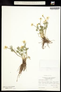 Image of Ranunculus adoneus