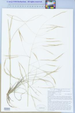 Aristida ternipes var. ternipes image