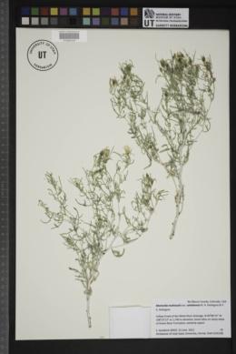 Mentzelia multicaulis var. uintahensis image