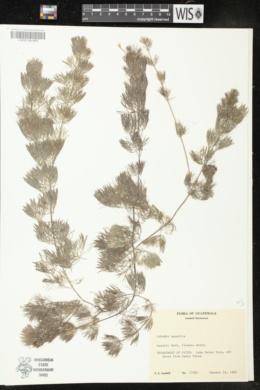 Image of Cabomba aquatica