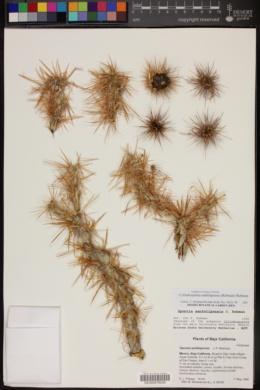 Cylindropuntia sanfelipensis image