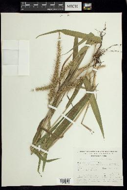 Setaria vulpiseta image