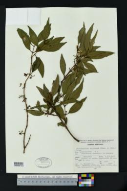 Struthanthus deppeanus image