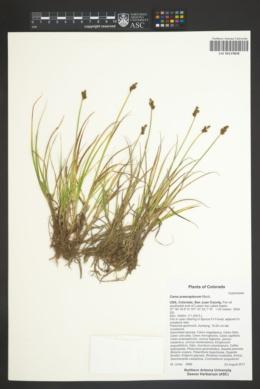 Carex praeceptorum image