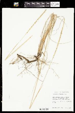 Image of Paspalum monostachyum