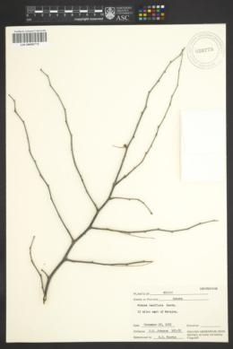 Mimosa laxiflora image