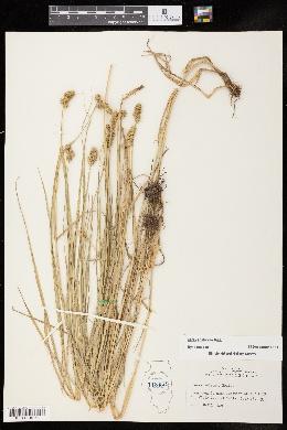 Carex cristatella image
