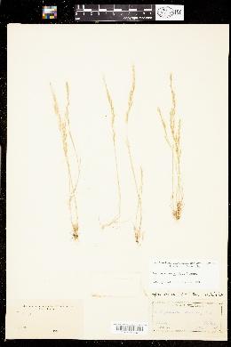 Image of Vulpia sciurea