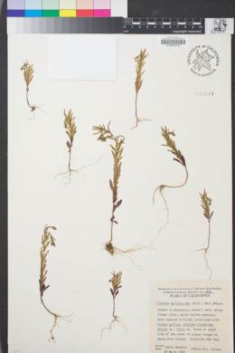 Image of Clarkia epilobioides