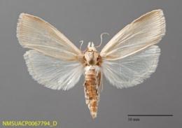 Image of Diatraea grandiosella