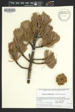 Image of Pinus culminicola