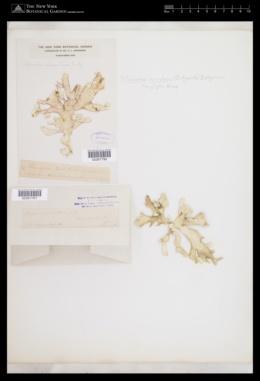 Titanophora incrustans image