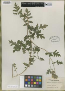 Image of Phacelia alvordensis