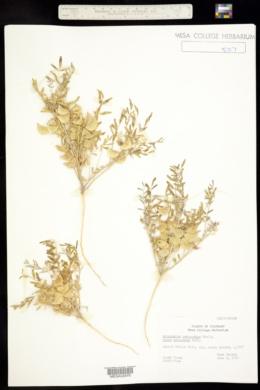 Astragalus cerussatus image