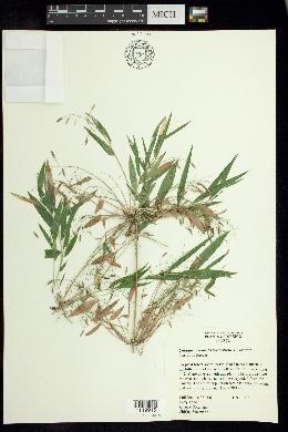 Image of Chusquea coronalis