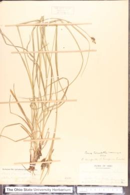 Carex hirsutella image