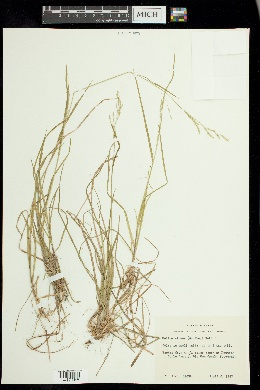Melica nitens image