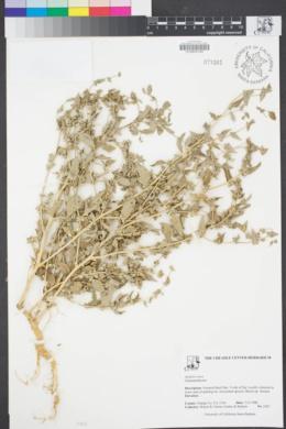 Image of Atriplex rosea