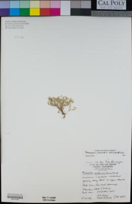 Image of Sabulina cismontana