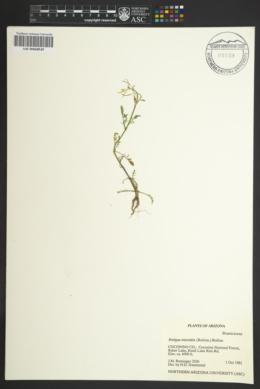Rorippa microtitis image