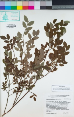 Vaccinium parvifolium image
