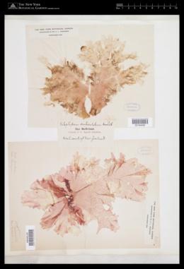 Nitophyllum denticulatum image