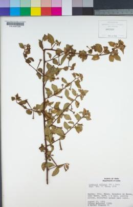 Image of Ludwigia affinis