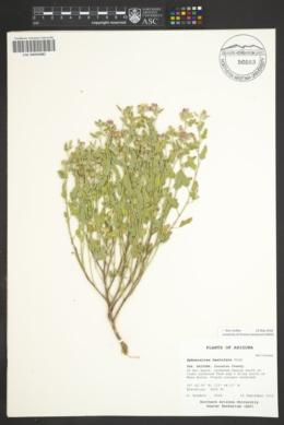 Sphaeralcea hastulata image