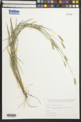 Image of Hordeum californicum