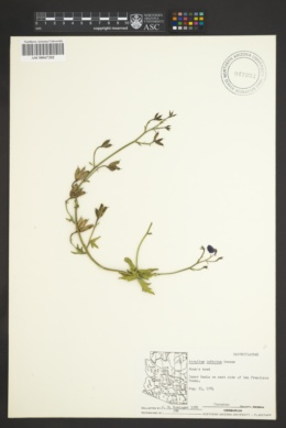 Aconitum infectum image