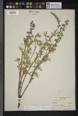 Lupinus caudatus subsp. caudatus image