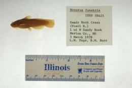 Noturus funebris image