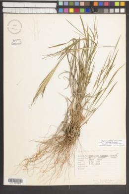 Digitaria pubiflora image