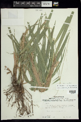 Leersia ligularis image