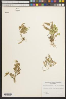 Selaginella stenophylla image
