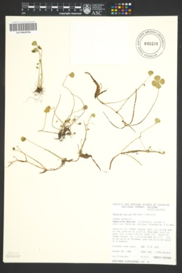 Marsilea mollis image
