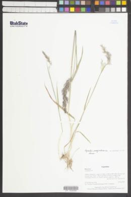Image of Agrostis magellanica
