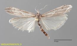 Pseudoschoenobius opalescalis image