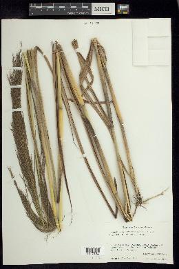 Arundinella deppeana image