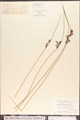 Juncus arcticus var. balticus image